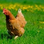 Poulet en plein air herbe